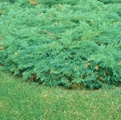 Scandia Juniper 'Scandia' (Juniperus sabina) | My Garden Insider
