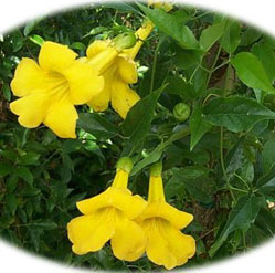 Yellow trumpet vine cats claw vine mightylinksfo