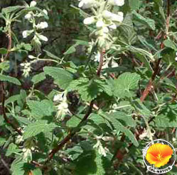 White flowered currant mightylinksfo